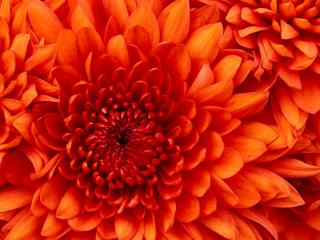 yagliboya_tablo_chrysanthemum.jpg