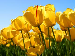 yagliboya_tablo_tulips.jpg